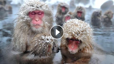 جفتگیری میمون حیات وحش ژاپن : میمون برفی