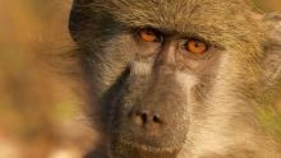 ملکه میمون بابون